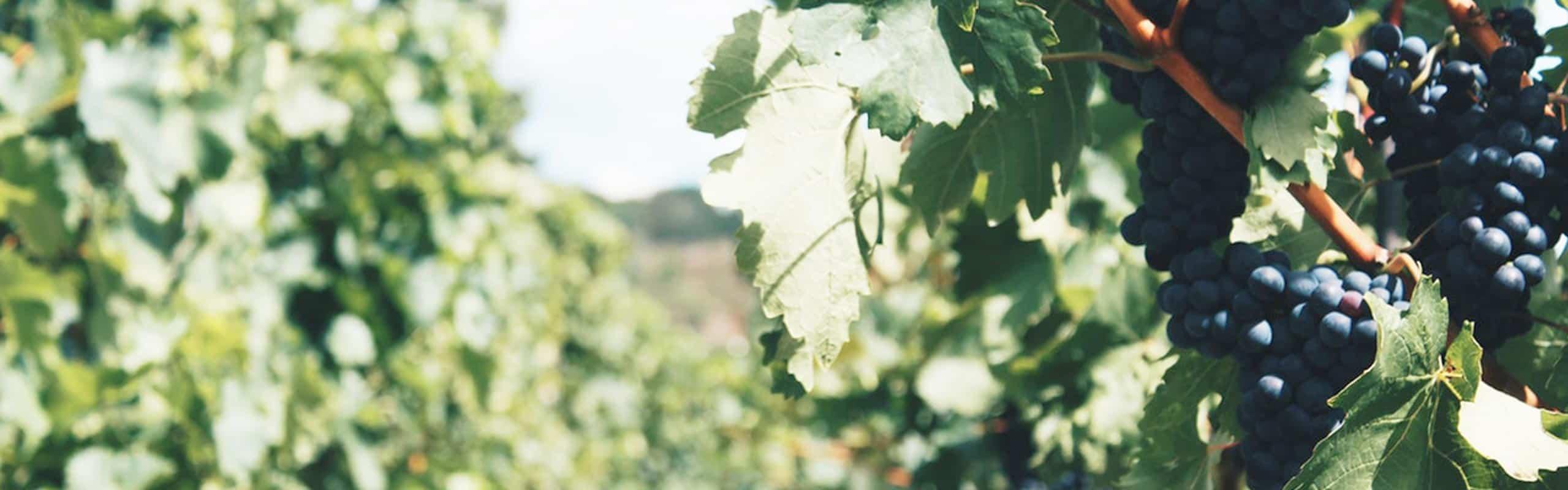 Descubre los viñedos y la importancia de su calidad en el vino